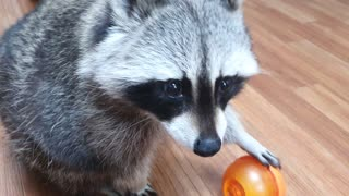 When a smart raccoon is hungry