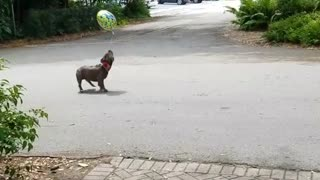 Collab copyright protection - dog birthday balloon jump - Video