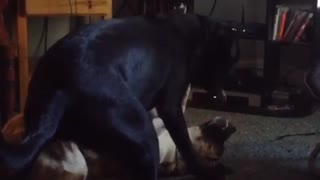 Black dog and german shepherd play fight in front of tv - Video