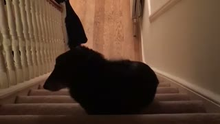 Elderly blind dog carefully climbs the stairs