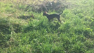 chihuahua dog runs with bird feather - Video