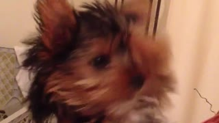 Brown yorkie dog held by owner scratches head and sticks tongue out