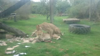 Lion playing while the other try's to hump! - Video