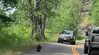 Mama Bear and Cubs Stop Cars