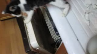 Daredevil cat rides dishwasher