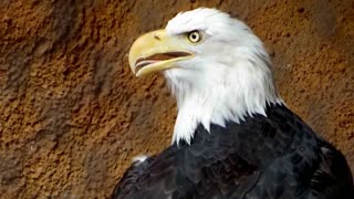 American Bald Eagle: Bird Of Prey