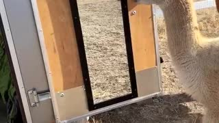 Confused Alpaca Sees Himself in the Mirror