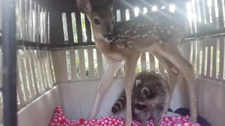 Baby Coon And Deer Are Best Friends