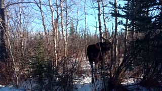 Encounter With a Friendly Moose - Video