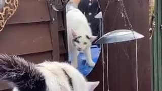 Totally bewildered cat doesn't understand her reflection in the mirror
