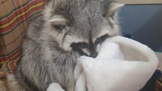 Raccoon goes outside, comes home, takes off his muffler.