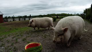Rescued pig smiles with delight when he is given his first watermelon