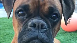Brown boxer stares at owner while toy squeaks  - Video