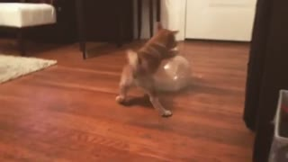 Shiba Inu puppy plays with a balloon - Video