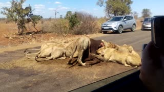 Lunchtime for Lions - Video