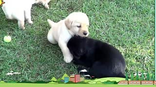 Top Labrador breeders - Video
