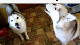 Huskies go crazy when owner says magic word