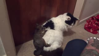 Tolerant Cat Plays Adoptive Mother To An Orphaned Baby Possum - Video