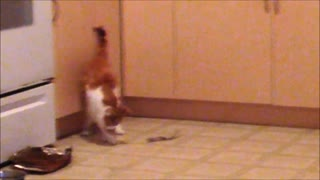 Cat Dancing with her Catnip Cloth  - Video
