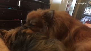 Brown dogs laying in bed licking one another  - Video