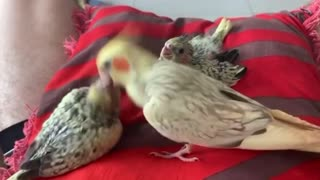 Cockatiel chicks being fed