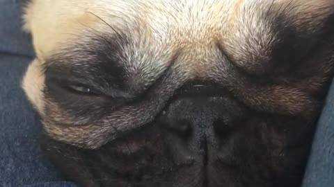 Pug doesn't understand the meaning of personal space