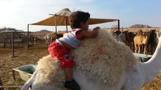 small baby riding on camel