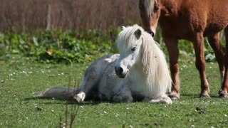 A small horse contemplates life, it's beautiful