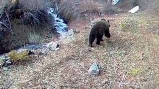 Grizzly Bear at Eagle Creek - Video