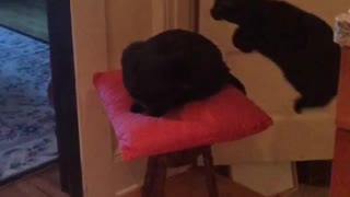 Agile Cat Jumps Clear Over Her Feline Sister - Video
