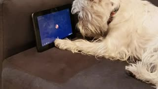 Westie Terrier playing game