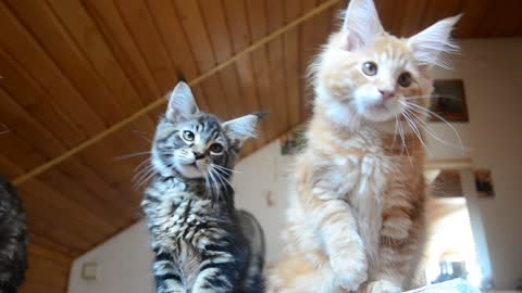 Pair of kittens adorably play together