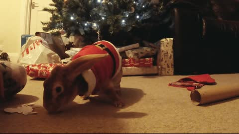 This Adorable Bunny Insists On Being Involved In Christmas!