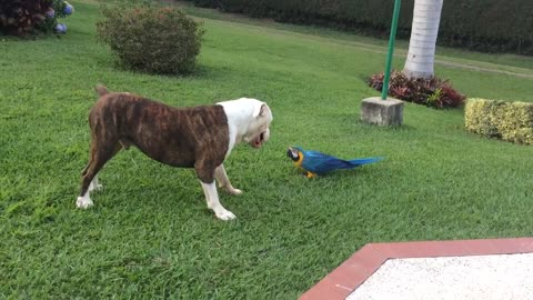 Bulldog and parrot are the ultimate best friends