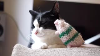 This cat really loves her little piggy!  - Video