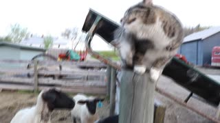 Funny Cat (Grizzle) Loving the Sheep