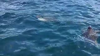 Rare sea turtles in Argostoli, Kefalonia - Video