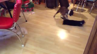 Épica batalla entre un Boston Terrier y un gato Manx - Video