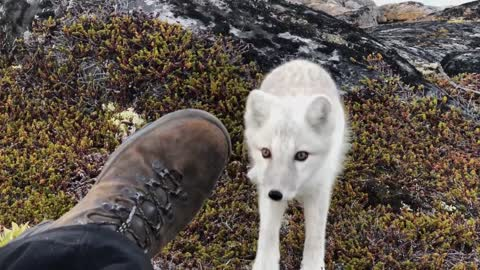 Encounter a young wild white Arctic Fox in Greenland