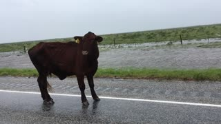 A Cow During a Hurricane - Video