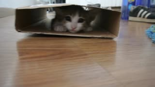 Kitten plays with empty box - Video