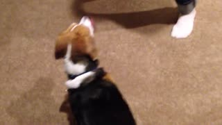 Beagle gets head stuck in oatmeal cannister - Video
