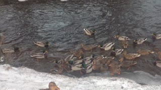 A flock of hungry ducks - Video