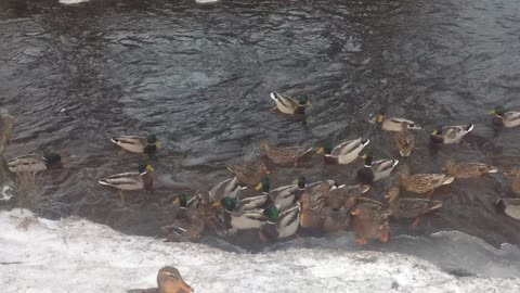 A flock of hungry ducks
