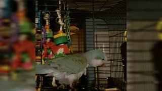 Goofy parrot pretends to be sick, pulls off fake coughing sounds