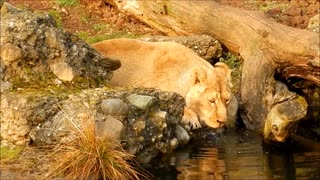 The lion drinks water alone