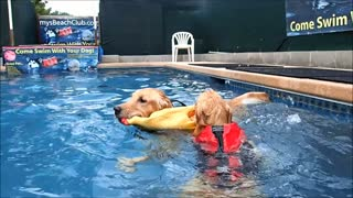 4 & 14 month old Golden Retriever Puppies swim with Chicken dog toy! - Video