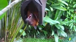 Brownie the Bat Loves Watermelon - Video