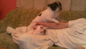 Jealous French Bulldog demands more attention - Video