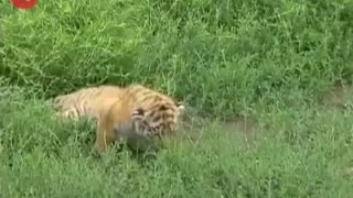 New Born Tiger Cubs Playing - Video